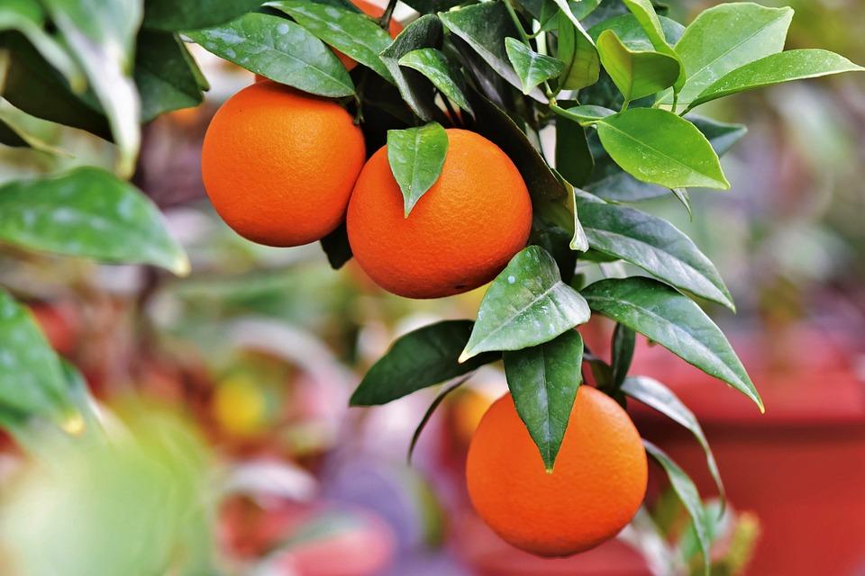 Orange, Orange Tree, Citrus Fruit, Fruit, Vitamins