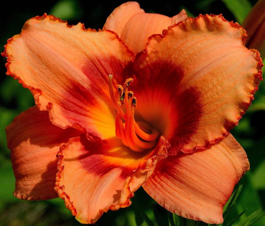 Daylily, Day Lily Plants, Orange Daylily, Orange, Bloom