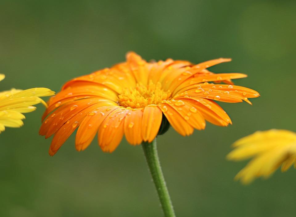 Flower, Field, Orange, Dewdrop, Rosa, Bright