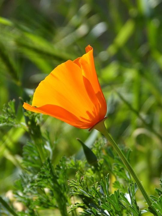California Poppy, Orange Flower