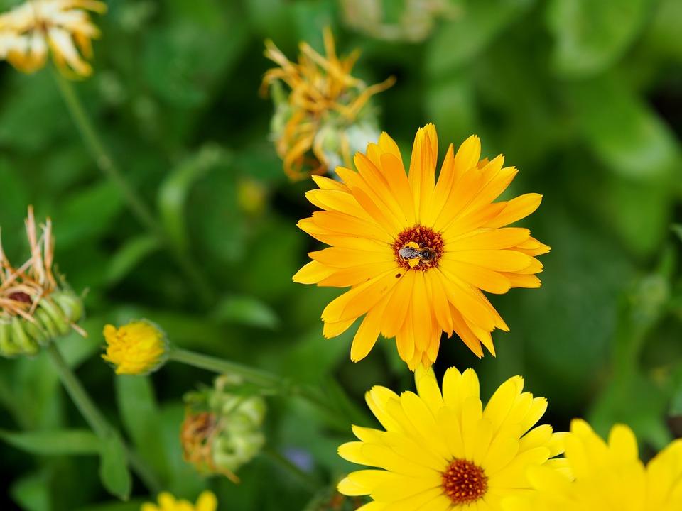 Marigold, Flower, Garden, Gardening, Orange