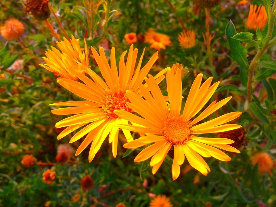 Flower, Plant, Garden, Yellow, Orange, Meadow, Spring