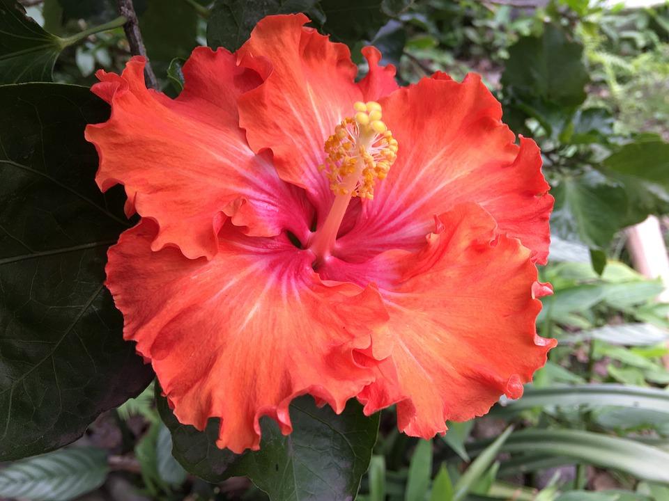 Hibiscus Orange, Flower, Orange