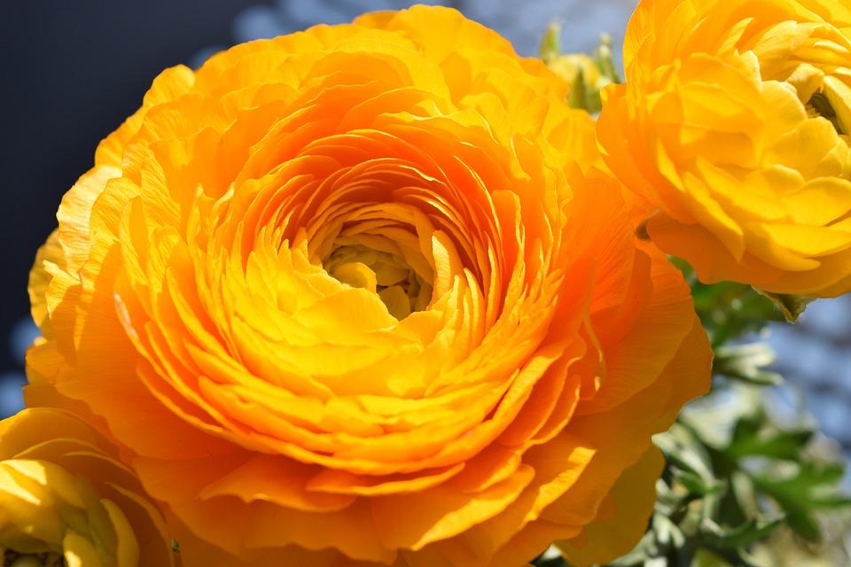 Flower, Ranunculus, Orange