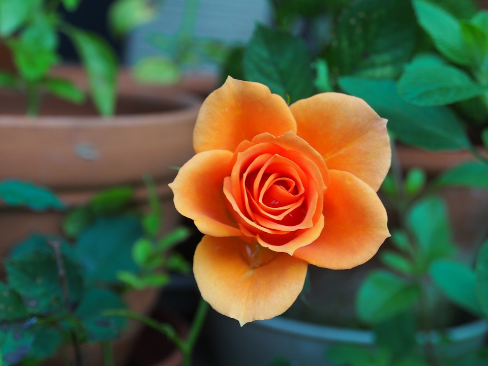 Flower, Rose, Garden, Orange Rose, Orange Flower