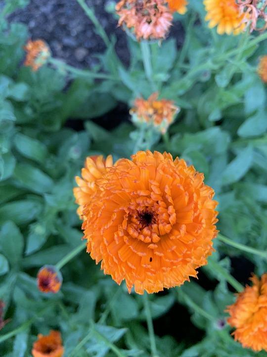 Orange, Flowers, Plant, Blossom, Gardening, Summer