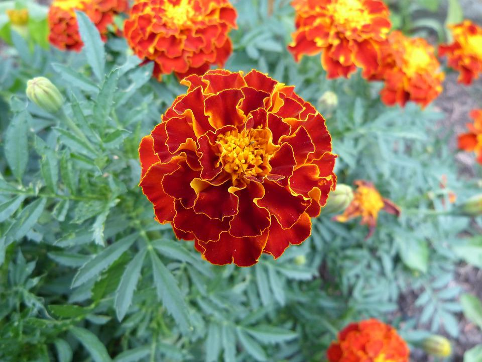 Free Photo Orange Flowers Summer Flower Marigold Max Pixel