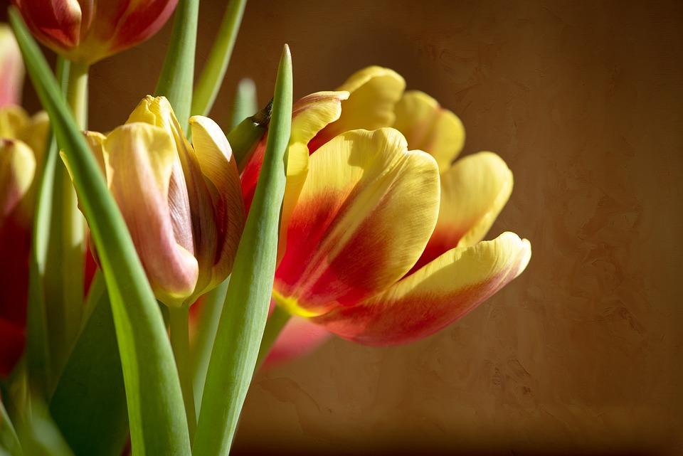 Tulips, Flowers, Red, Yellow, Orange, Schnittblume