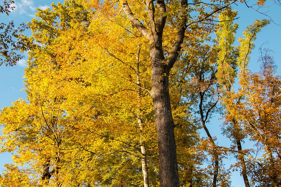 Forest, Autumn, Yellow, Orange, Blue Sky, Nature, Trees