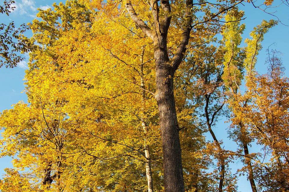 Forest, Autumn, Yellow, Orange, Blue Sky, Nature, Trees