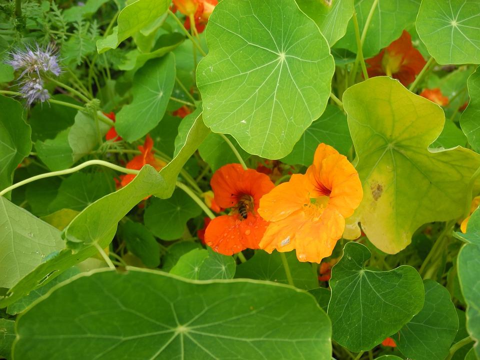 Nasturtium, Bees, Garden, Blossom, Bloom, Orange