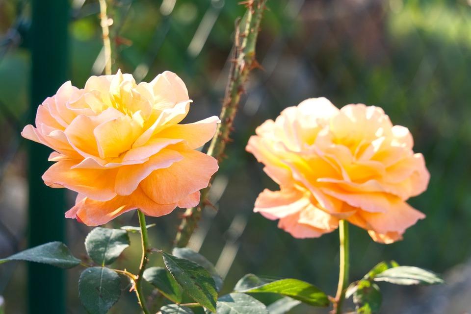 Rose, Blossom, Bloom, Pink, Orange, Gaudy, Colorful