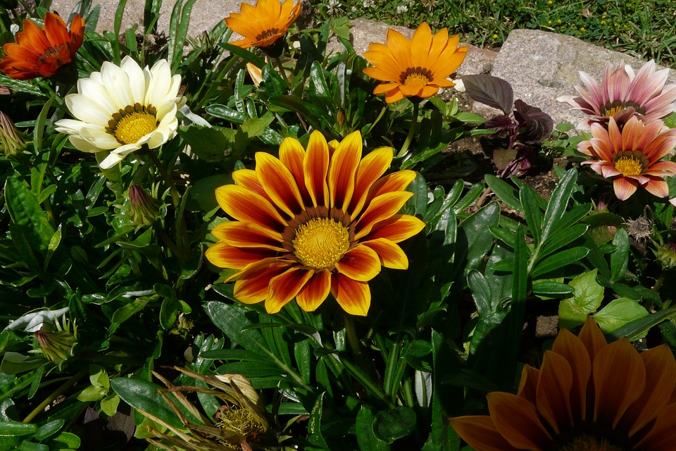 Gazania, Flowers, Gazania Rigens, Orange, Summer