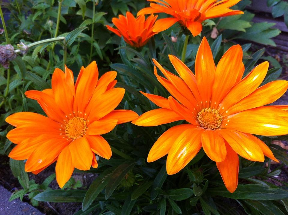 Gazania Splendens, Garden Plant, Orange