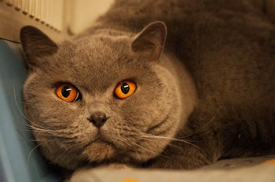 Cat, Orange, Gray