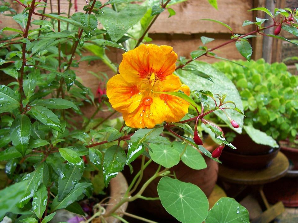 Nasturtium, Orange, Flower, Green, Leaves, Wet, Water