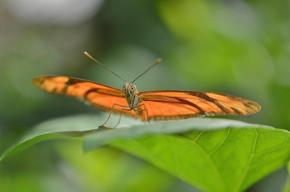Dryas Julia, Julia Longwin, Butterfly, Insect, Orange