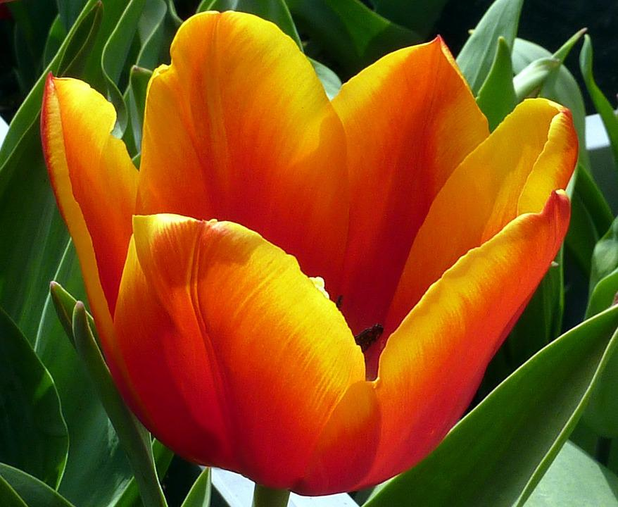 Tulip, Flower, Orange, Spring, Jacques Fath