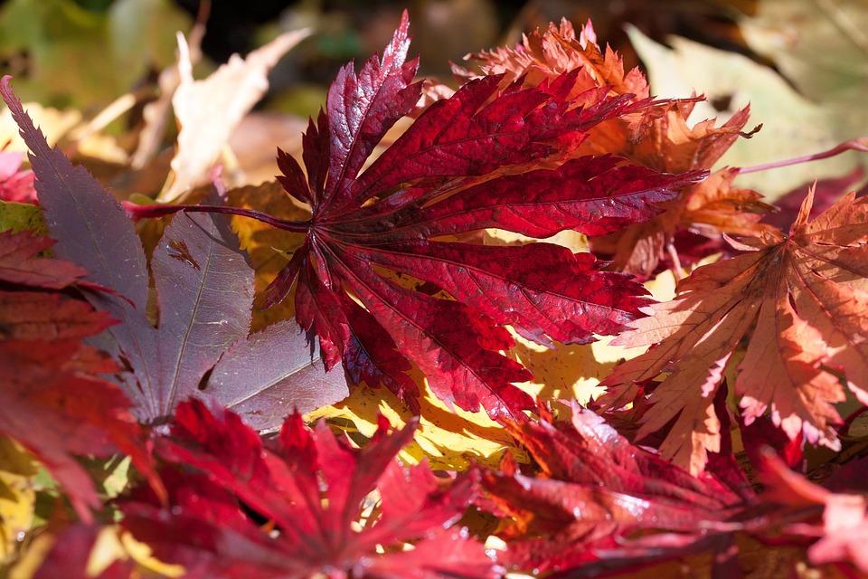 Maple, Autumn, Leaf, Red, Violet, Orange, Leaves