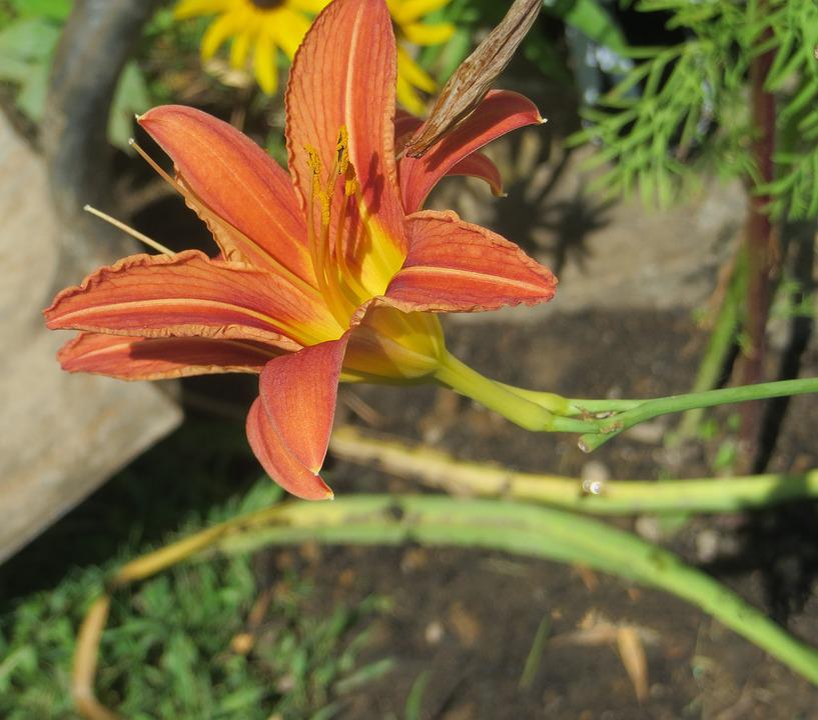 Day, Lily, Orange, Spotted, Flower, Floral, Botanical