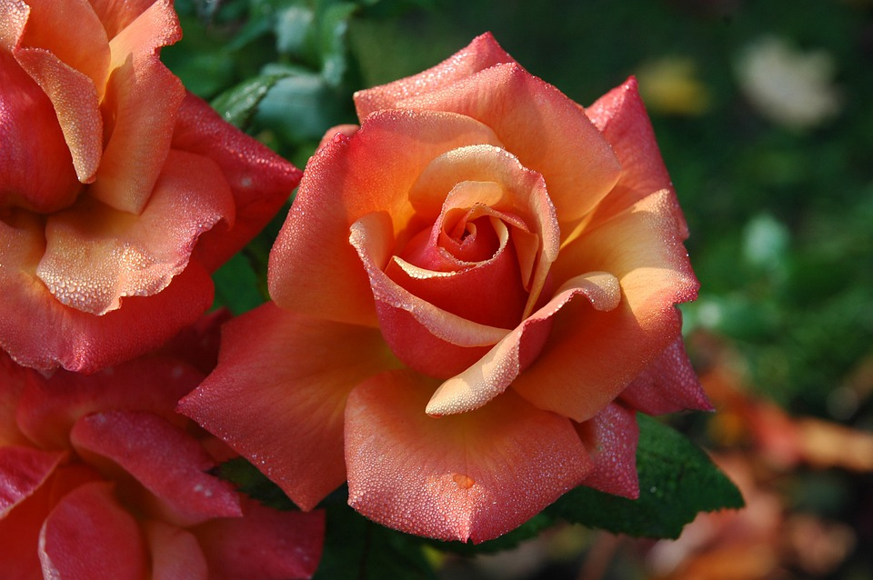 Roses, Flowers, Pink, Orange, Floral, Love, Romantic