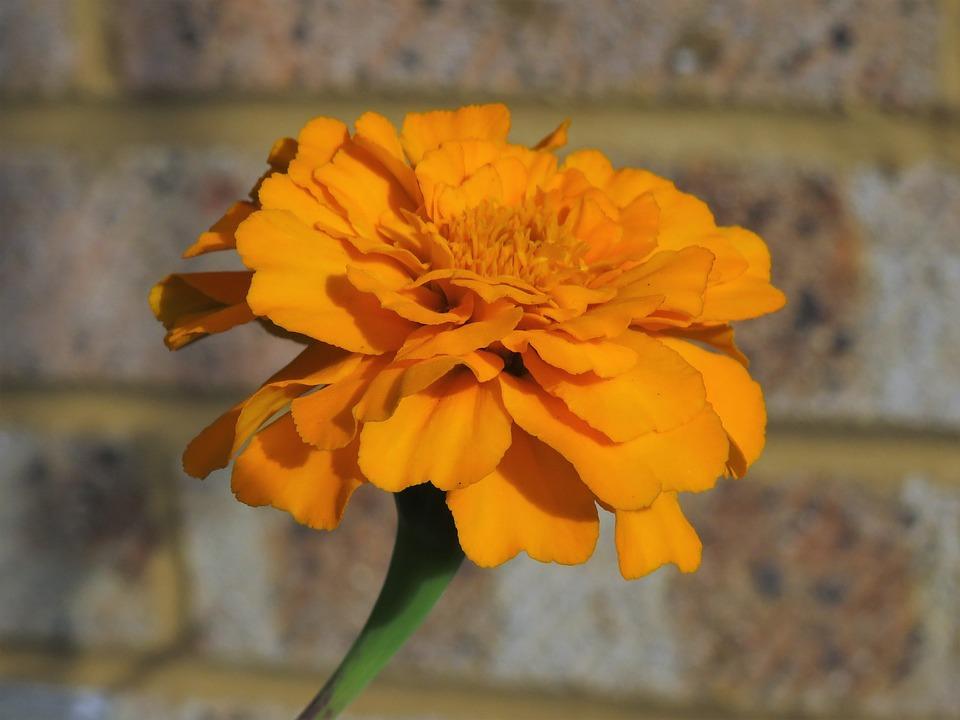 Marigold, Orange, Flower, Yellow, Gold, Summer, Garden