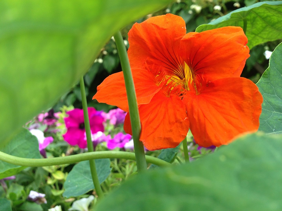Nasturtium, Blossom, Bloom, Orange, Green, Decoration