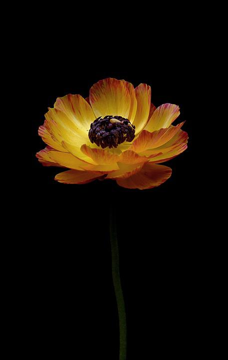 Ranunculus, Yellow, Orange, Spring, Nature, Flower