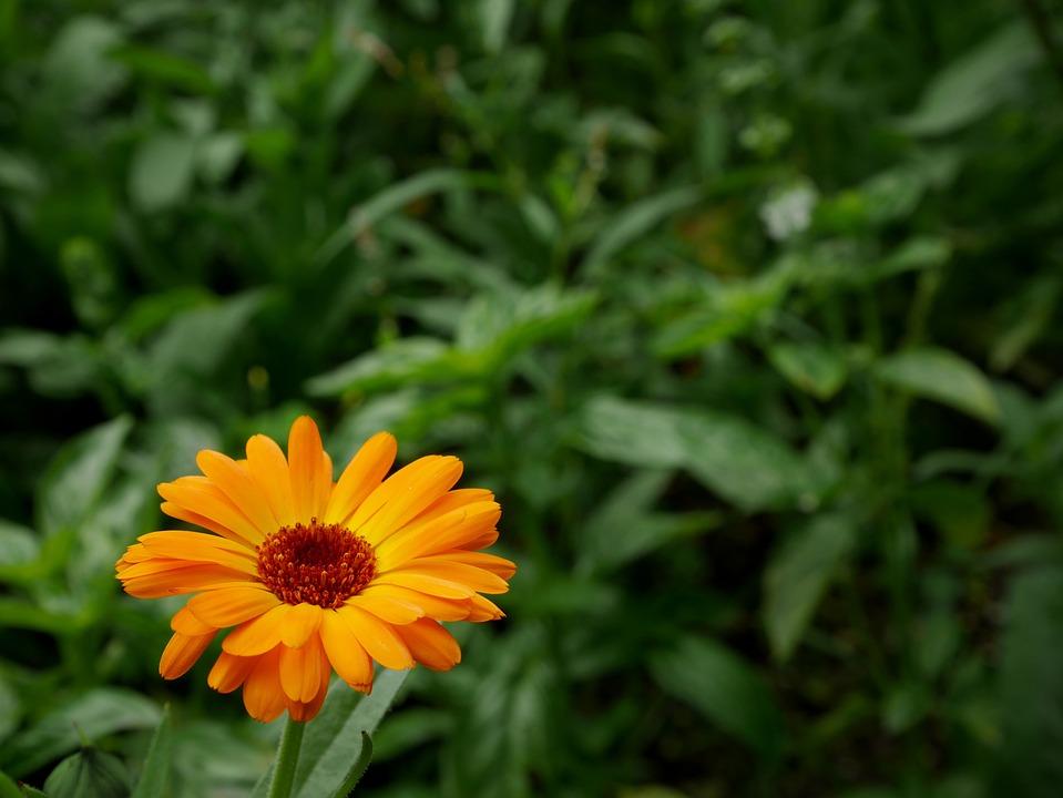 Flower, Orange, Green, Nature, Orange Flower, Plant