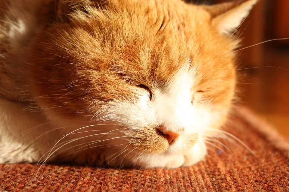 Cat, Orange, Pet, Domestic Cat, Animal, Tiger Cat
