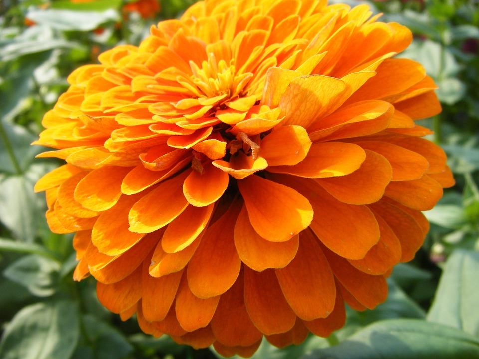 Free photo orange petals marigolds golden yellow flowers max pixel marigolds flowers orange golden yellow petals mightylinksfo