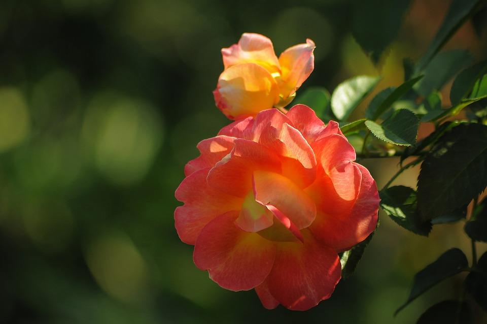 Rose, Orange, Yellow, Bloom, Flower, Petals, Beautiful