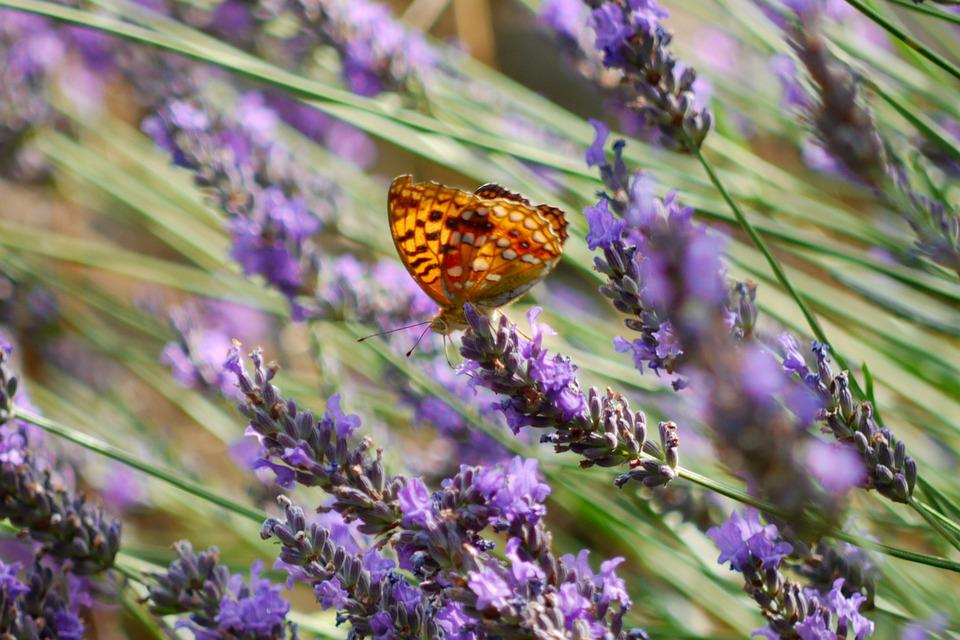 Lavender, Butterfly, Purple, Nature, Insect, Orange