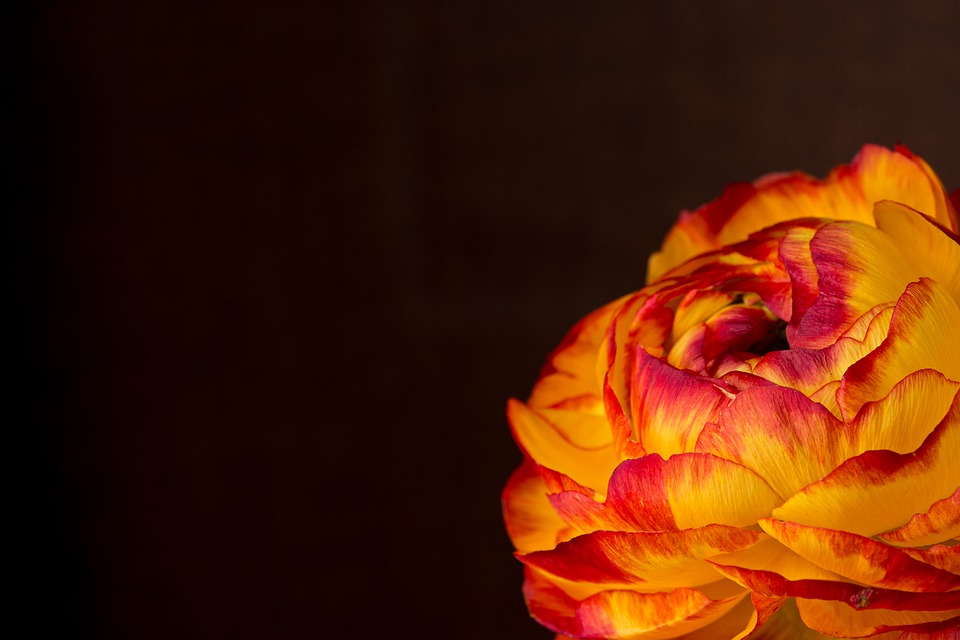 Ranunculus, Flower, Blossom, Bloom, Orange, Yellow Red