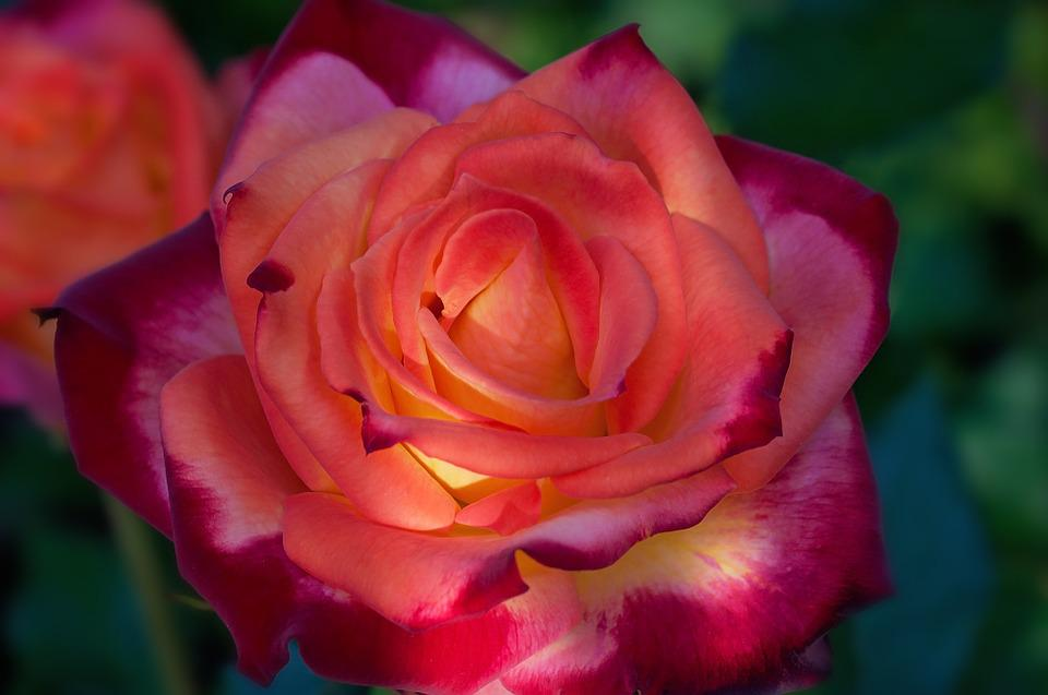 Rose, Orange Red, Flower, Beautiful, Nature