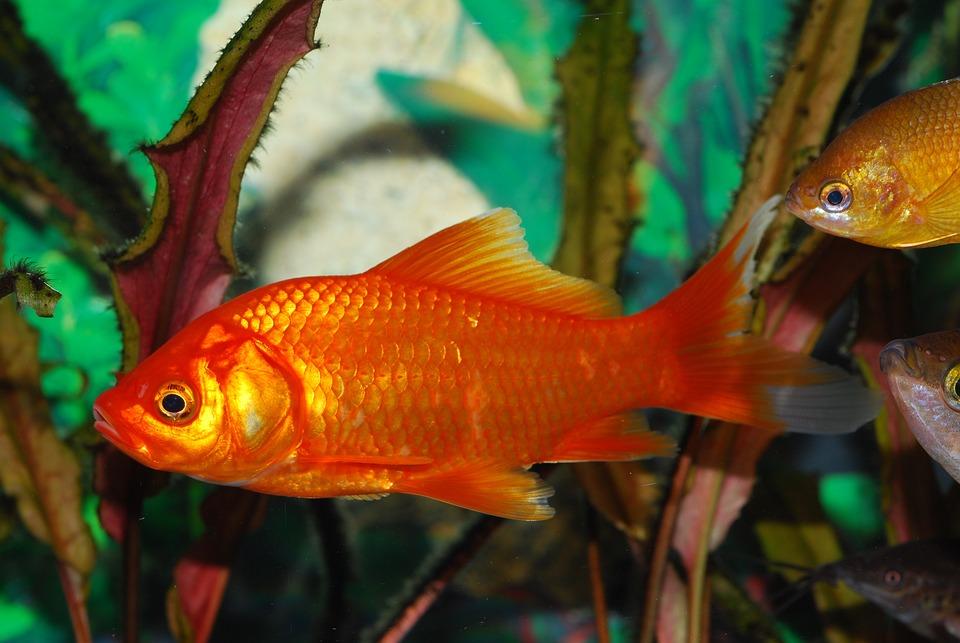 Free Photo Orange Red Fish Goldfish Aquarium Max Pixel