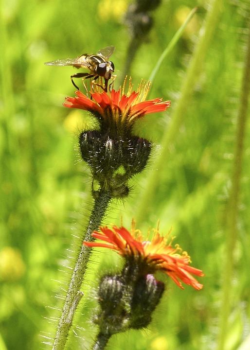 Orange Hawk Weed, Orange Red King Devil, Flower, Insect