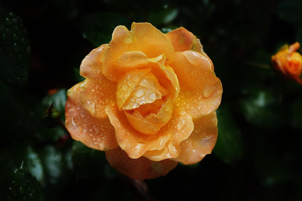 Rose, Orange, Color, Drip, Drop Of Water, Rose Bloom
