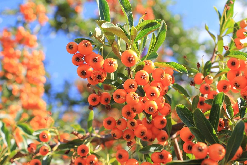 Rowanberries, Orange, Summer, Plant