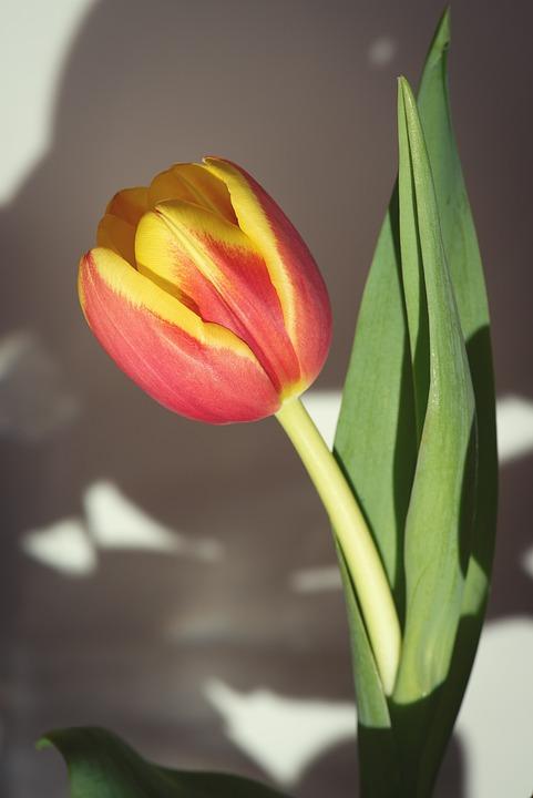 Flower, Tulip, Orange, Schnittblume, Spring Flower