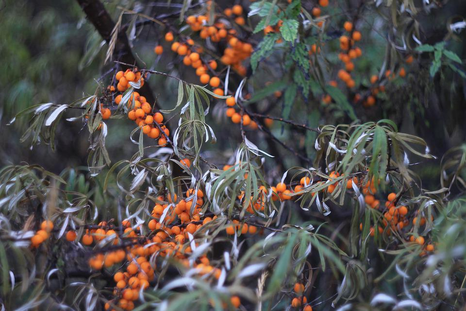 Sea-buckthorn, Berry, Color, Orange, In The Fall Of
