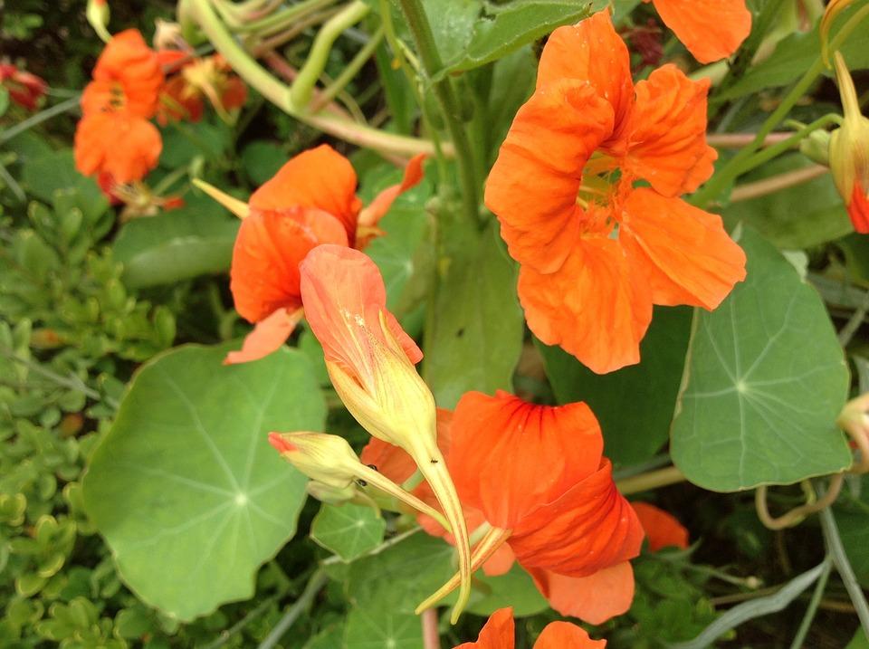 Nasturtium, Spring, Orange