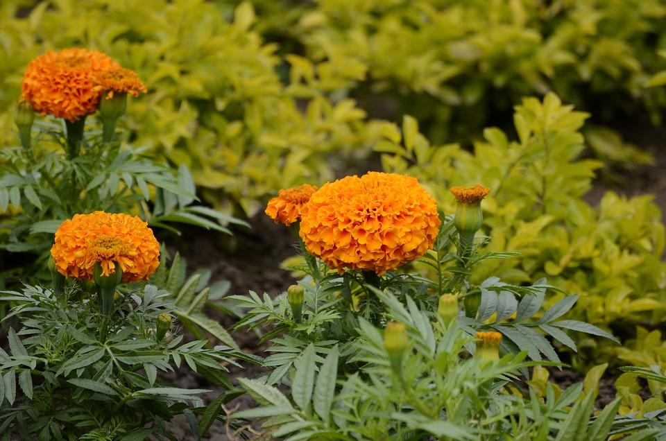 Geraniums, Orange, Flowers, Green, Natural, Spring