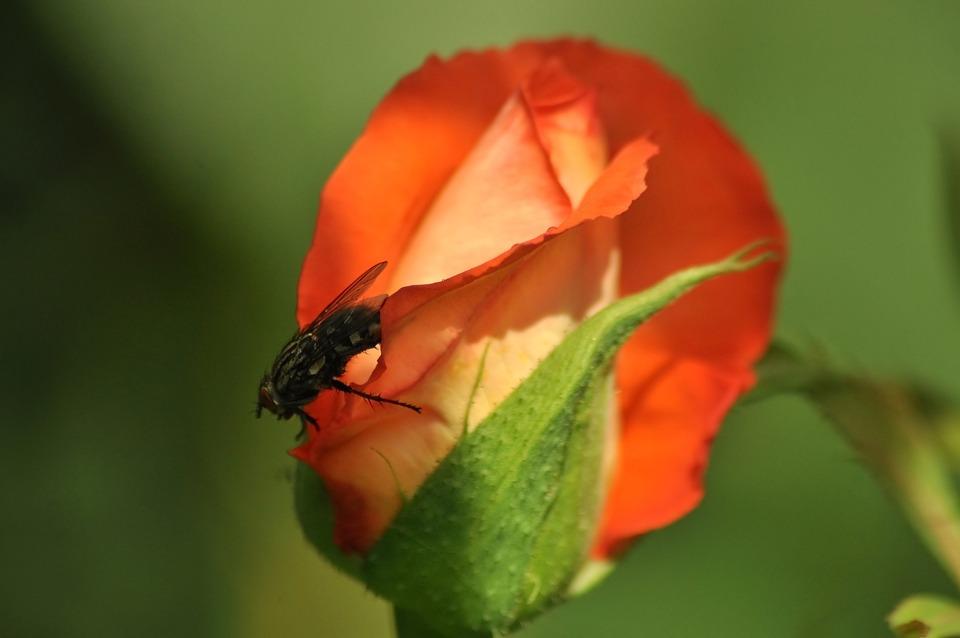 Rose, Fly, Bud, Orange, Greens, Summer, Garden, Macro