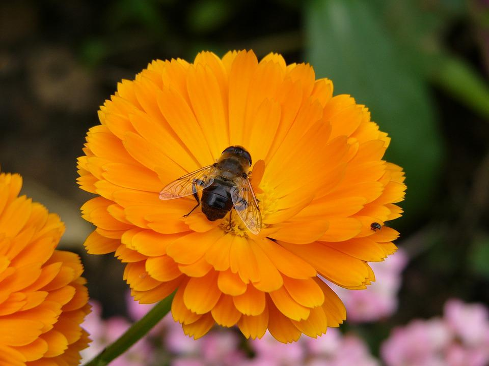 Flower, Orange, Garden, Bee, Summer, Nature