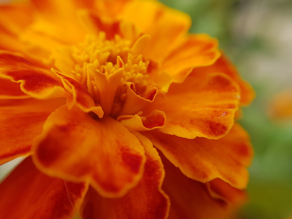 Flower, Orange, Nature, Garden, Plant, Spring, Summer