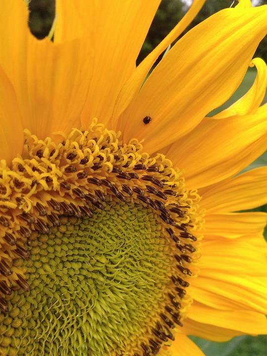 Sunflower, Flower, Yellow, Orange Sunflower