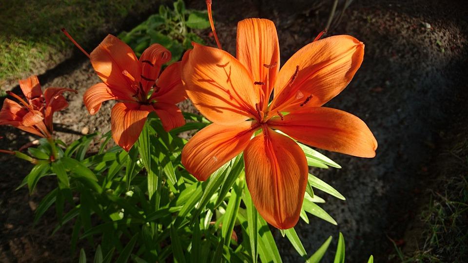 Lily, Orange, Flower, Sunny, Sweden, Nature
