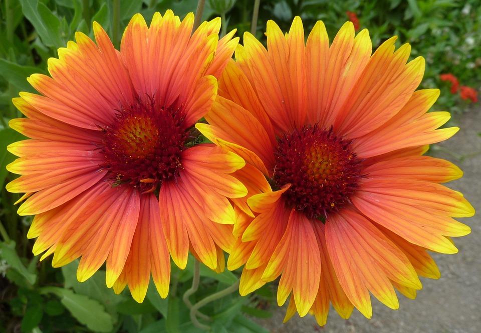 Flowers, Yellow, Pair, Twin, Bloom, Macro, Orange