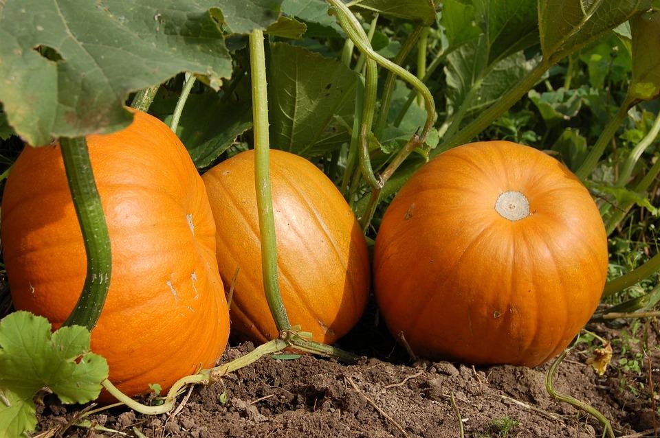 Pumpkin, Vegetable Garden, Harvest, Orange, Fruit, Land